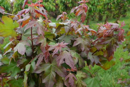 acer-campestris-red-shine