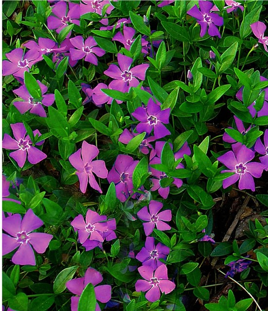 purple-periwinkle-atropurpurea-vinca-minor