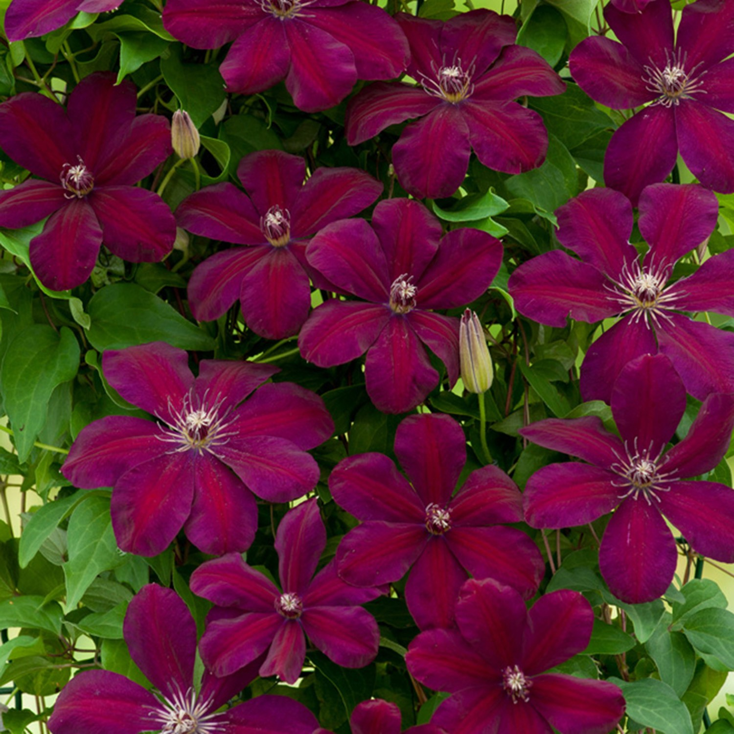 clematis-rouge-cardinal-donkerrood